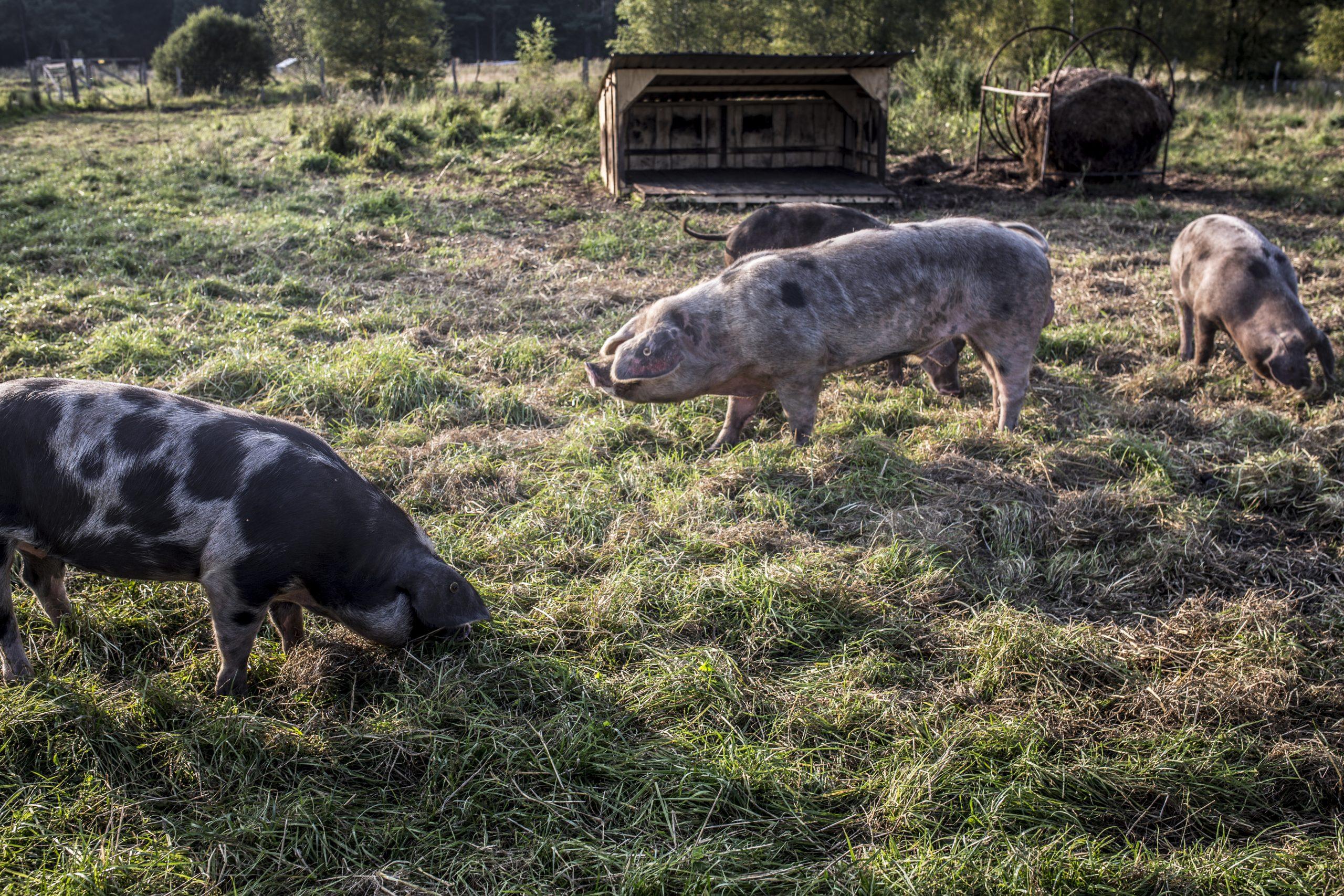 Projekt Bentheimer Schweine