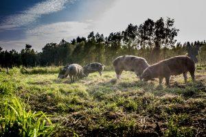 Umsetzung Bentheimer Schweine in Weidehaltung