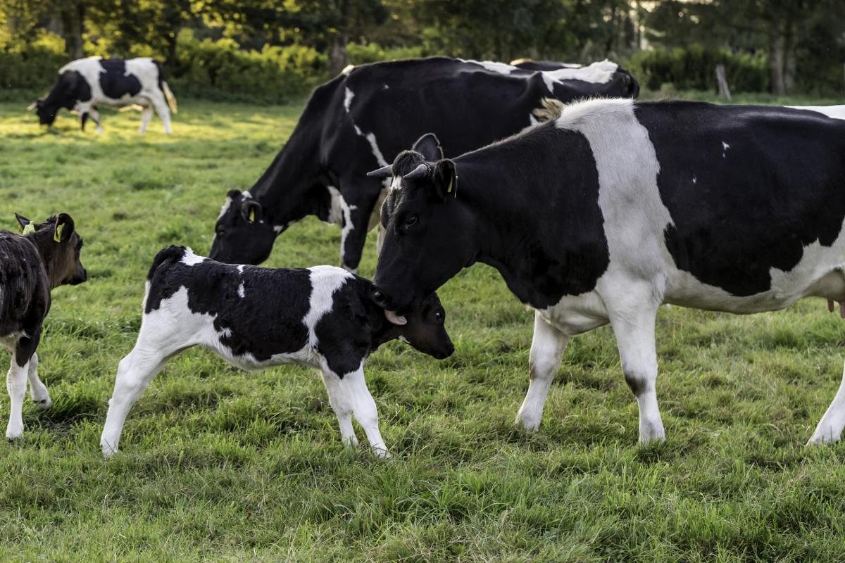 Umsetzung Zweinutzungs-Rinderhaltung